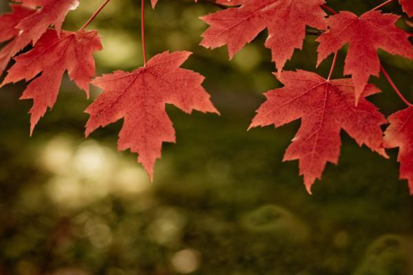 Canada-maple-la-phong-mua-thu