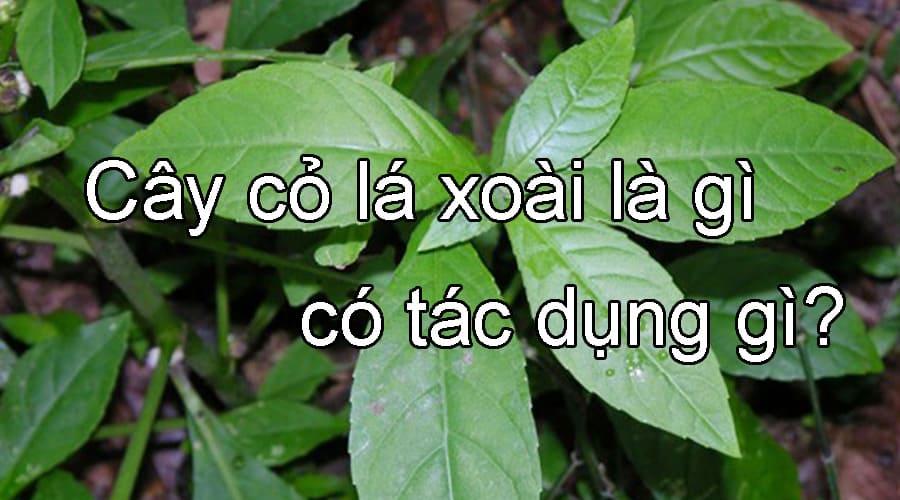 Tìm hiểu Cây cỏ lá xoài là gì, có tác dụng gì?