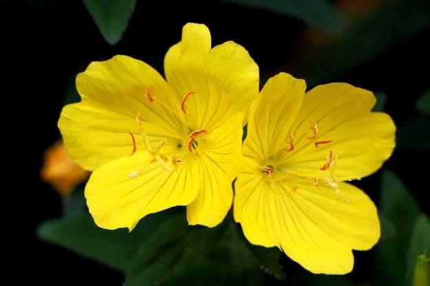 Tìm hiểu Tinh dầu hoa anh thảo là gì, có tác dụng gì?